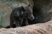 Black Wolf (Canis lupus) Pup Climbs out of Den - captive animals poster