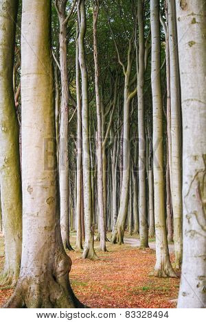 High trees in the forest with bald trunks