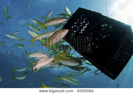 Yellow Tail Snappers