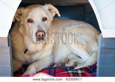 Spanish Mastiff in doghouse