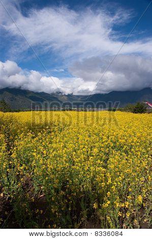 Yellow Oil Flower