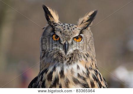 Eagle Owl An eagle owl portrait