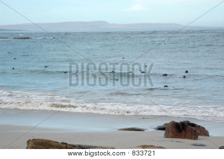 A colony of grey seals at the waters edge watching over two young pups on the beach. poster