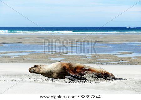 Sleeping Beauty On A Beach On The Southern Island Of New Zealand