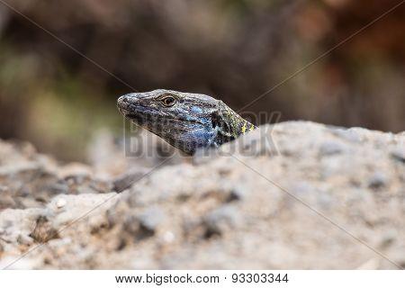 Lizard On The Island Tenerife