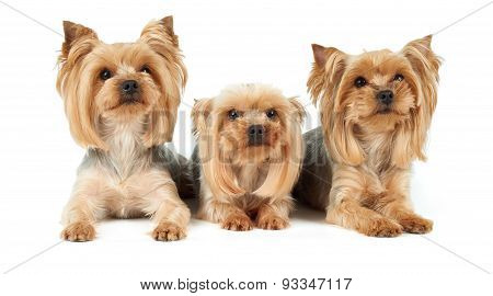 Three Dogs With Haircut