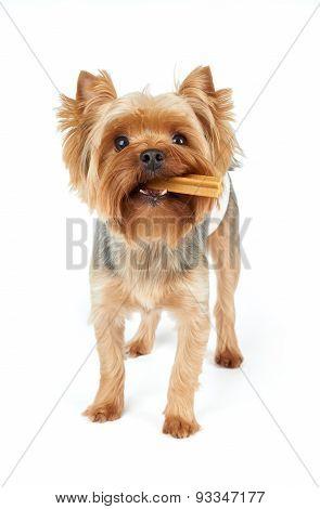Yorkie Chews Dental Stick