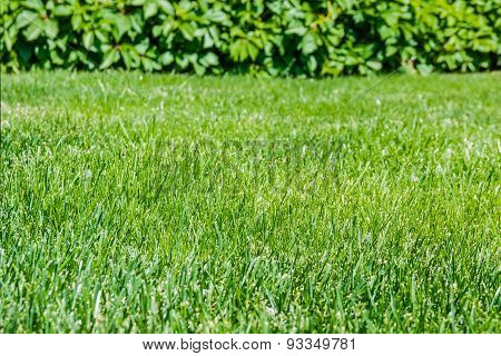 Lawn With Grass