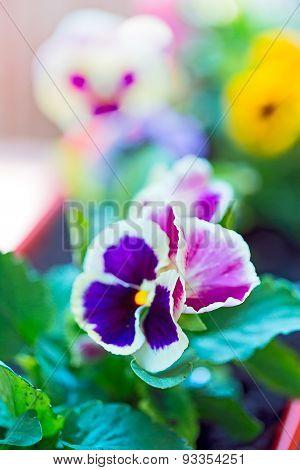 Big Bush Blooming Flowers, Pansies In The Garden