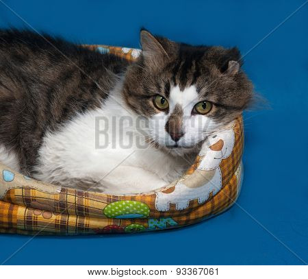 White and fluffy tabby cat lies in motley couch on blue background poster
