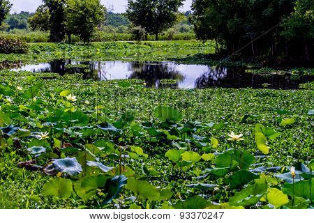 Beautiful Park Lake Full of Aquatic Plants