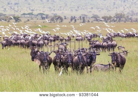 Herd of Wildebeests grazing in Serengeti.