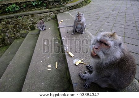 Padangtegal Monkey Forest, Famous Touristic Place In Ubud, Bali Indonesia