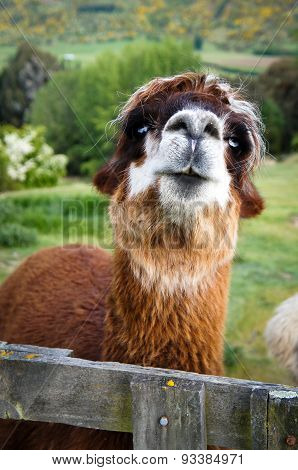 Brown alpaca close up