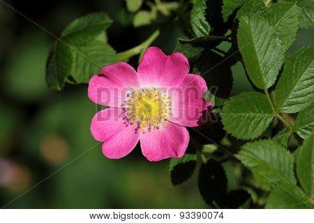 Sweet Briar Rose (rosa Rubiginosa)