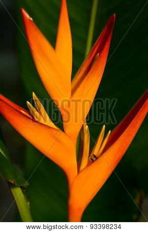 Heliconia Flowers On A Tree In Koh Ngai Island Thailand