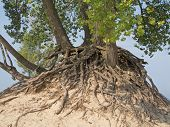 Intertwined roots exposed to sun and Lake Michigan storms these trees perch precariously atop a sand dune on the beach at Warren Dunes State Park and demonstrate the wisdom and necessity of interdependence. Warren Dunes State Park Sawyer Michigan. poster