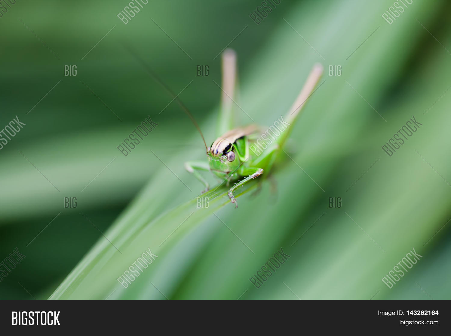 Selective Focus Image Photo Free Trial Bigstock Use In Macro Photography For Dummies Grasshopper Great Green Bush Cricket Tettigonia Viridissima Insect View