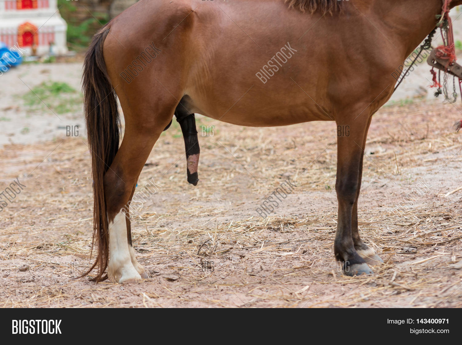 Penis Horse Image & Photo (Free Trial) | Bigstock