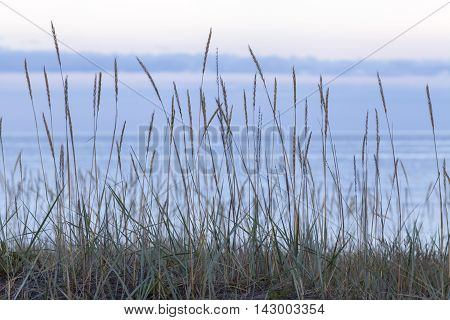 Close-up on Lyme grass on the sandy seashore. Beach, sea and clouds in the background. Nightfall.