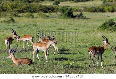 Herd of males black-faced impala antelopes (Aepyceros melampus) grazing in the savannah at Tarangire National Park, Tanzania.