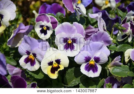 A bush of light violet pansy under sun light