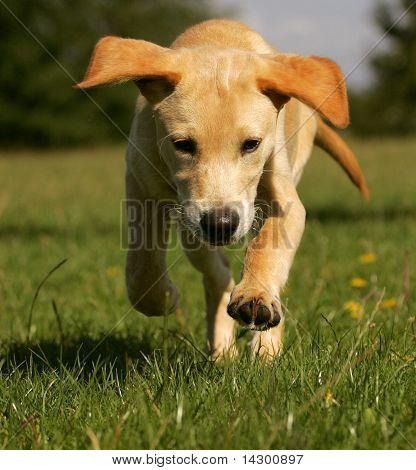 A golden yellow lab running on a grass field.