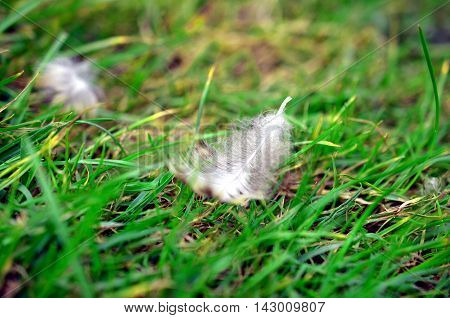 closeup of White bird feather in the grass