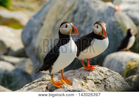 A couple of Atlantic puffins watching over other puffins