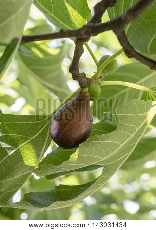 Ripe fig fruits on tree branch. Stock photo.
