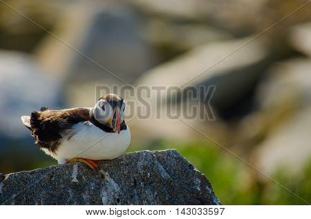 a puffin sitting on a rock with its feathers being ruffled by the wind