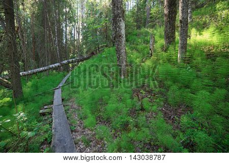 Wooden footpath in the forest at summer Finland