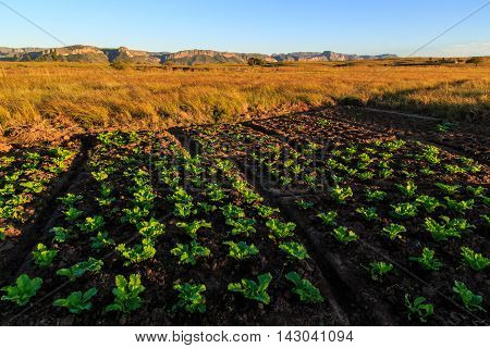 Growing Vegetables In An African Landscape