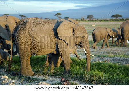 Big family of African bush elephant (Loxodonta africana) go to watering at sunset in Tarangire National Park, Tanzania.