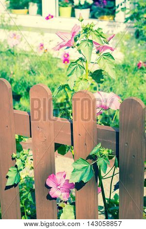 Wooden fence with beautiful mallow hollyhock flowers