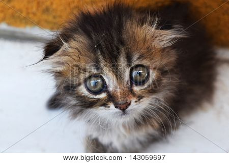 animal kitten with big eyes curiously looking