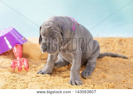 Purebred Great Dane puppy that has played too hard on the sand
