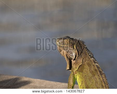 Green Iguana looking over his shoulder illuminated in the morning sun