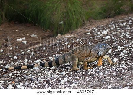 Large Green Iguana walking on a ramp in South Florida