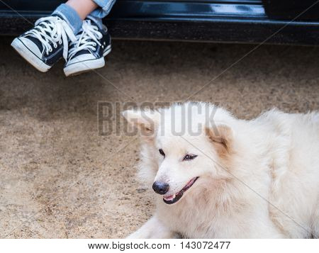 Cute white dog lying on floor close to its master is inside the car