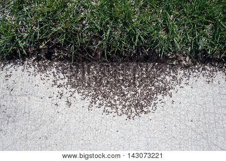 Red ants pullulate onto a sidewalk in Joliet, Illinois during March.