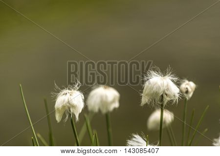 White hairy flower looks like Cotton plant