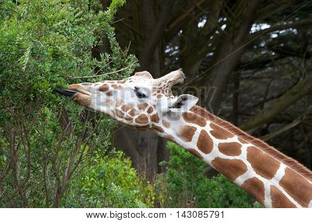 giraffe eating tree leaves tongue sticking out to grab leaves.