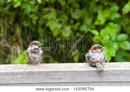 two male house sparrows sitting on a fence post one with body facing forward other with body facing to the back both looking to viewers right. leaves in background. copy space