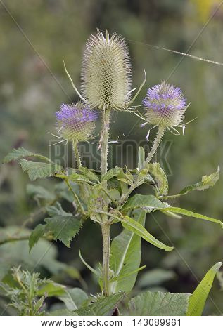Wild Teasel - Dipsacus fullonum Spiky Summer Flowers