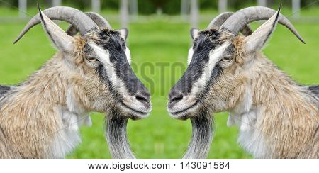 Two funny goat looking at each other. Two goats facing each other on a goat farm. Goats are looking into each others eyes