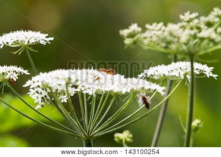 Small Red Bugs Mating On Wild White Flower