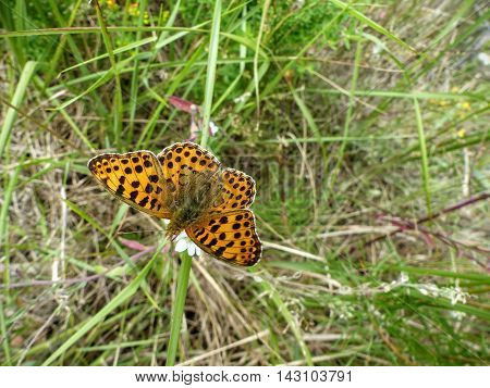 A silver-washed fritillary butterfly (Argynnis paphia) sitting on a wildflower in a meadow