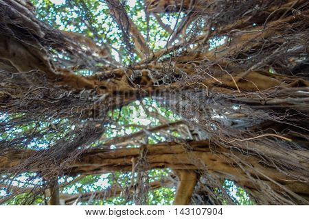 Banyan tree roots hanging in the air bottom view