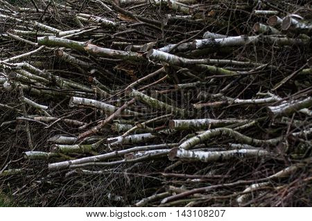 Wood of young felled birches in the Lüneburg Heath